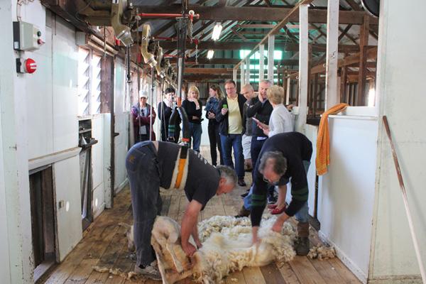 Sheep shearing takes place without resorting to mulesing at Bally Glunin Park